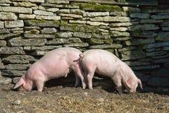 Un cibo dei due porcellini Fotografia Stock Libera da Diritti