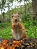Un cibo dello scoiattolo Immagine Stock Libera da Diritti