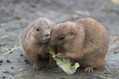 Un cibo di due marmotte fotografie stock libere da diritti