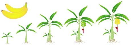Un ciclo de crecimiento de una planta de plátano aislada en un fondo blanco Fotografía de archivo