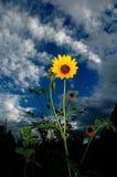 Un cielo azul y nubes del girasol amarillo en fondo Foto de archivo libre de regalías