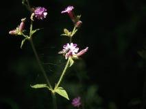Un cielo solitario del hallazgo de la abeja en una coronaria rosa-rosada Foto de archivo libre de regalías