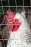 Un cierre blanco del pollo encima del retrato Foto de archivo