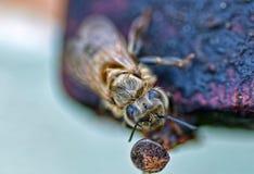 Un cierre de la abeja para arriba Imagen de archivo libre de regalías