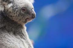 Modelo de la koala Fotos de archivo