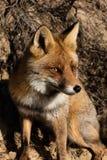 Un cierre del Fox cerca Imagen de archivo