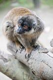 Un cierre del lémur encima de la vista lateral Fotos de archivo libres de regalías