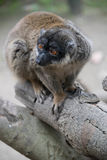 Un cierre del lémur para arriba Foto de archivo libre de regalías