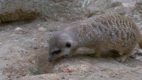 Un cierre del meerkat para arriba almacen de video