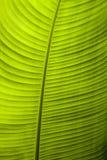 Un cierre detallado para arriba de una hoja retroiluminada del plátano foto de archivo libre de regalías