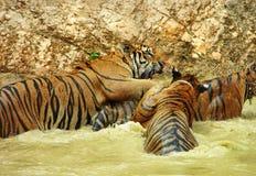 Tigres salvajes que se divierten junto el nadar y el jugar en agua Foto de archivo libre de regalías