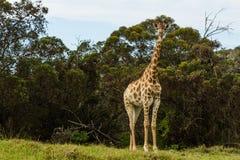 Un cierre encima de la foto de una jirafa con los árboles en el fondo imagen de archivo libre de regalías