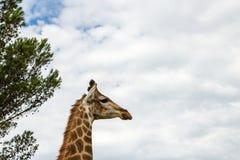 Un cierre encima de la foto de una jirafa con los árboles en el fondo Pi fotografía de archivo libre de regalías