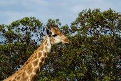 Un cierre encima de la foto de una jirafa con los árboles en el fondo Pi imagen de archivo