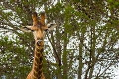Un cierre encima de la foto de una jirafa con los árboles en el fondo Pi imagenes de archivo
