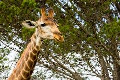 Un cierre encima de la foto de una jirafa con los árboles en el fondo Pi fotografía de archivo
