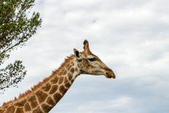 Un cierre encima de la foto de una jirafa con los árboles en el fondo Pi foto de archivo libre de regalías