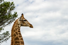 Un cierre encima de la foto de una jirafa con los árboles en el fondo Pi foto de archivo