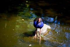 Un cierre encima de la foto de un pájaro nativo Pukeko de Nueva Zelanda, también conocida como la púrpura swamphen el porphyrio d foto de archivo
