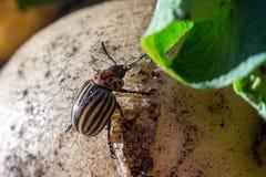 Un cierre encima de la imagen del escarabajo de patata rayado de Colorado que se arrastra en las patatas y las hojas verdes y las fotografía de archivo