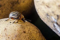 Un cierre encima de la imagen del escarabajo de patata rayado de Colorado que se arrastra en las patatas y las hojas verdes y las fotografía de archivo libre de regalías