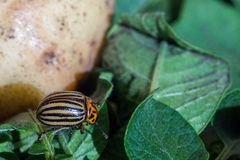 Un cierre encima de la imagen del escarabajo de patata rayado de Colorado que se arrastra en las patatas y las hojas verdes y las imagen de archivo