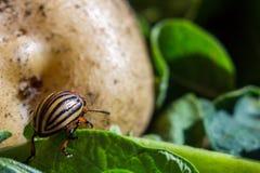 Un cierre encima de la imagen del escarabajo de patata rayado de Colorado que se arrastra en las patatas y las hojas verdes y las fotos de archivo libres de regalías