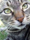 Un cierre encima de la imagen del gato de gato atigrado con los ojos verdes imagenes de archivo