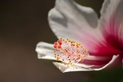 Un cierre encima de la imagen de un hibisco de color rosa oscuro y blanco florece mostrando el estambre y los pistilos amarillos  fotos de archivo
