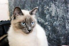 Un cierre encima de la opinión el pequeño gato unbreaded que se sienta en casa fotografía de archivo libre de regalías