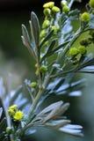 Un cierre encima de la vista de la planta de la hierba del ajenjo fotografía de archivo