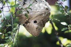 Un cierre encima de la vista de una jerarquía peligrosa de la avispa Imagen de archivo