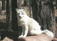 Un cierre encima del retrato de un Fox ártico Imagen de archivo libre de regalías