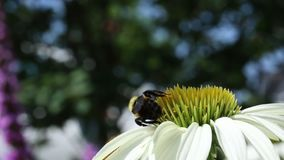 Un cierre encima del tiro del abejorro que alimenta en una flor en la floración almacen de video