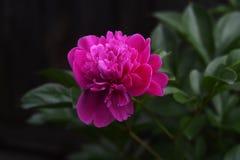 Un cierre encima del tiro macro de una rosa roja Fotos de archivo