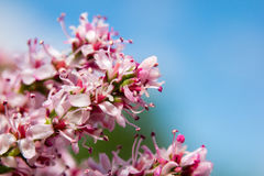 Un cierre hermoso para arriba de un flor rosado de la flor con un fondo del cielo azul Fotografía de archivo libre de regalías