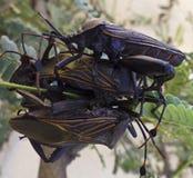 Un cierre para arriba cuatro del asesino Bugs Imagen de archivo libre de regalías