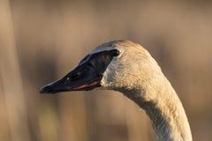Un cierre para arriba de un cisne de trompetista en la primavera Imagen de archivo libre de regalías