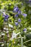 Un cierre para arriba de la campanilla florece en primavera Imágenes de archivo libres de regalías