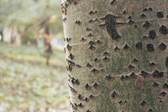 Un cierre para arriba de la textura de la corteza de árbol de abedul Fotos de archivo