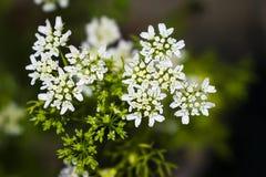 Un cierre para arriba de las flores del coriandro en un jardín con el fondo borroso imagen de archivo libre de regalías
