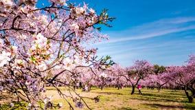 Un cierre para arriba de las flores rosadas florecientes del árbol de almendra en primavera fotos de archivo