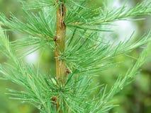 Un cierre para arriba de un brach imperecedero del árbol Imágenes de archivo libres de regalías