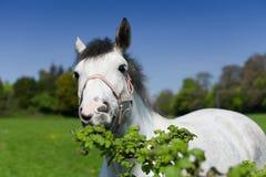 Un cierre para arriba de un caballo gris Foto de archivo libre de regalías
