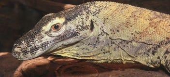 Un cierre para arriba de un dragón de Komodo Imagen de archivo libre de regalías