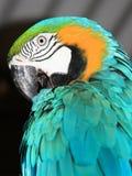 Macaw azul Fotos de archivo