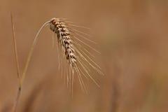 Un cierre para arriba de un oído maduro del trigo Fotografía de archivo libre de regalías