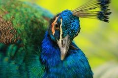 Un cierre para arriba de un pavo real Imagen de archivo