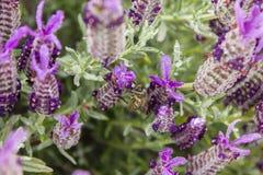 Un cierre para arriba de una abeja en campo de la lavanda Foto de archivo libre de regalías