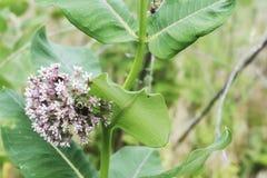 Un cierre para arriba de una abeja que poliniza una planta vibrante de la mala hierba de la leche Imagen de archivo